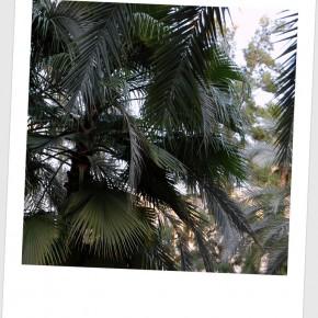 Le palme di Elche, tantissime in tutta la città